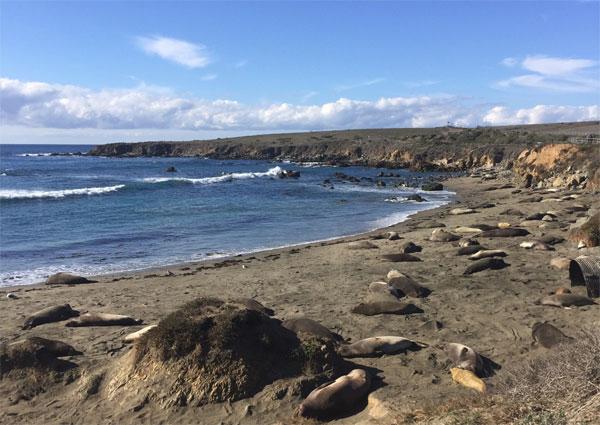 słonie morskie Kalifornia