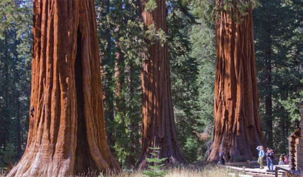 sekwoje Yosemite