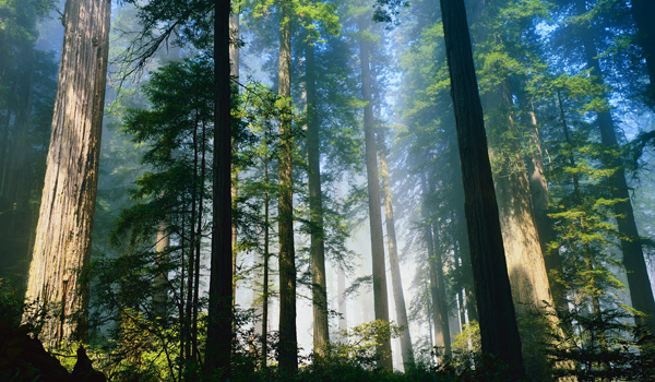 Redwood atrakcje Kalifornii