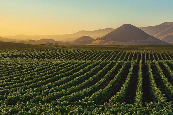 winnice Kalifornia