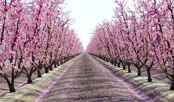 Fresno kwitnące drzewa owocowe
