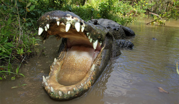 aligatory w Everglades